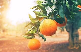 Multitalent Orangenbaum